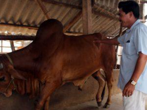 Những triệu phú nuôi bò